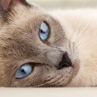 Characteristics of Common Breeds of Domestic Cats