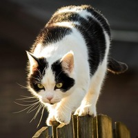 "Myth: ""Cats always land on their feet"", uncovered"