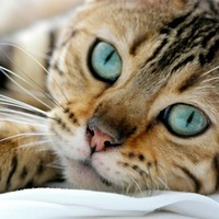 Cat STATS: The Bengal