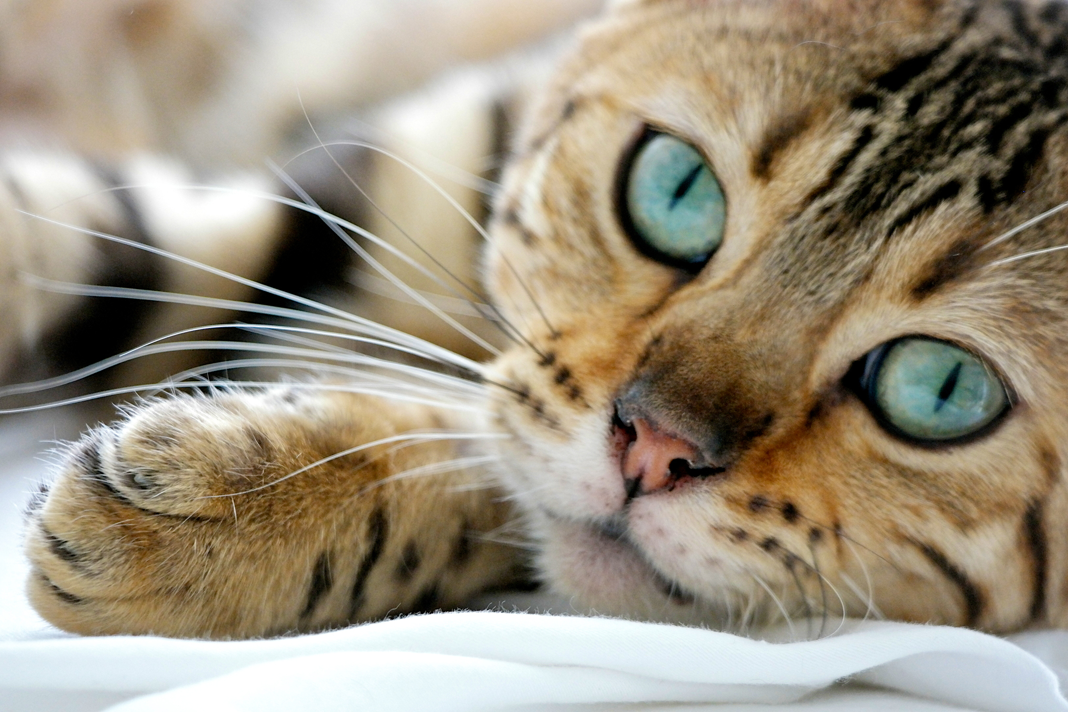 Large domestic cats bengal