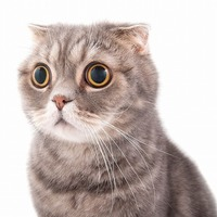 Cat STATS: Scottish Fold