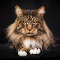 The Marvelous Maine Coon