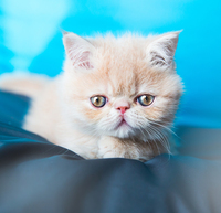 CAT STATS: EXOTIC SHORTHAIR